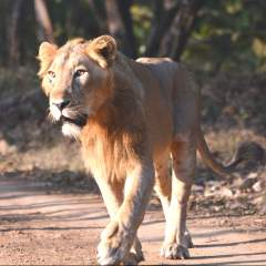 Lions and Company - the Pride of Gujarat